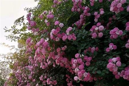 这6种开花机器,1棵开花200朵,剪都剪不完!
