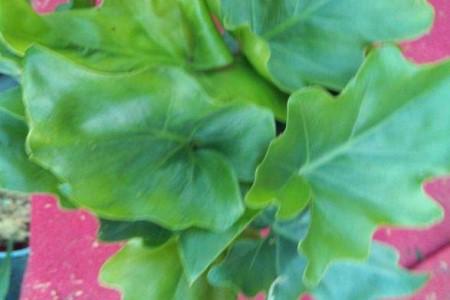 花叶富贵竹