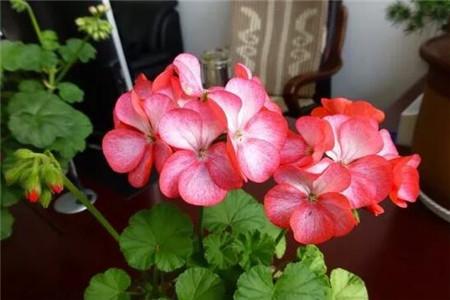 单瓣天竺葵