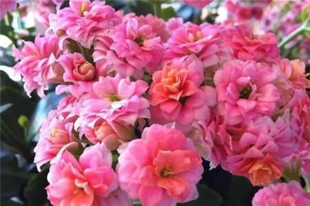 重瓣长寿花