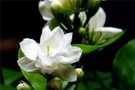 只学1招,茉莉三角梅···365天开花,次次开满枝!(www.ijiuai.com)
