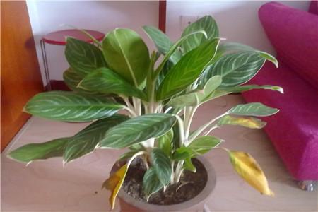 大叶绿萝能水养吗_白柄粗肋草的养殖方法和注意事项 - 花百科