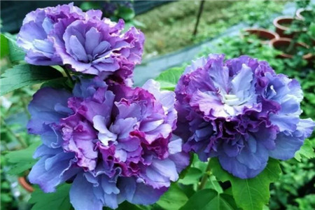 看腻了大红大紫,6种绝世冰蓝花,种1棵就清凉一夏!(www.ijiuai.com)