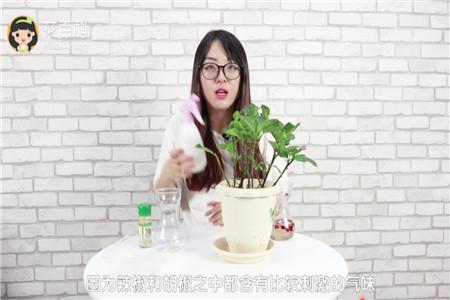 辣椒水能够杀虫吗
