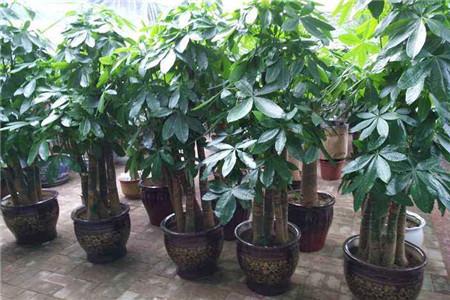 台湾发财树