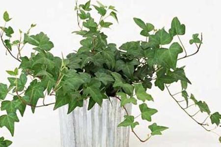 常春藤水培养殖方法