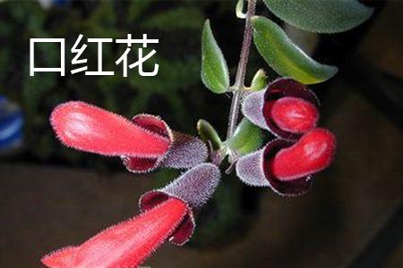 口红花花朵