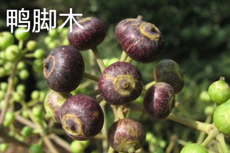 鸭脚木果实