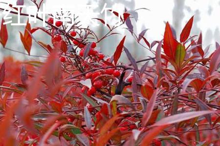 红叶南天竹