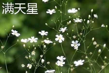 满天星花朵