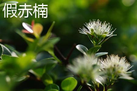 富贵竹开花_赤楠和假赤楠的区别 - 花百科