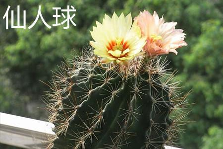 仙人球花朵