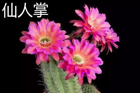 仙人掌花朵