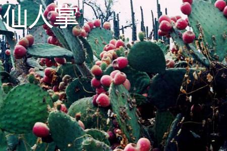 仙人掌果实