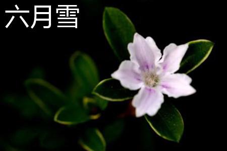 六月雪花朵