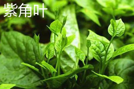 紫角菜叶片