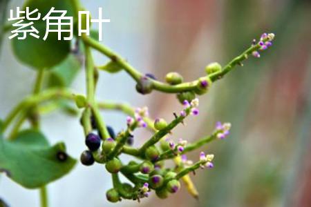 紫角叶果实