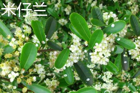 米仔兰树价格_米仔兰和九里香的区别 - 花百科