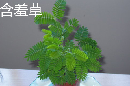 含羞草植株
