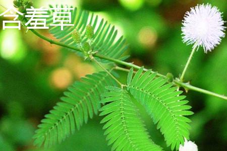 含羞草叶片