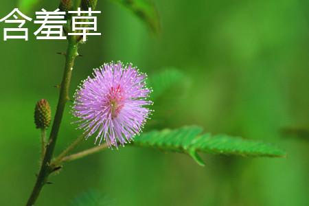含羞草花朵