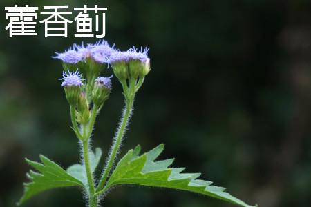 藿香蓟叶片