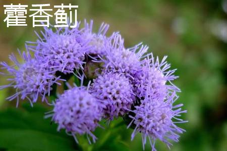 藿香蓟花朵