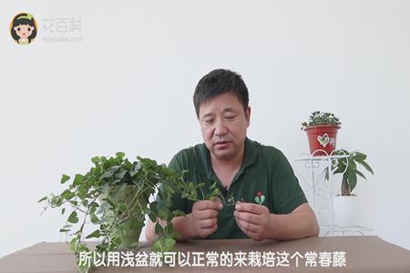 所以用浅盆就可以正常的来栽培这个常春藤