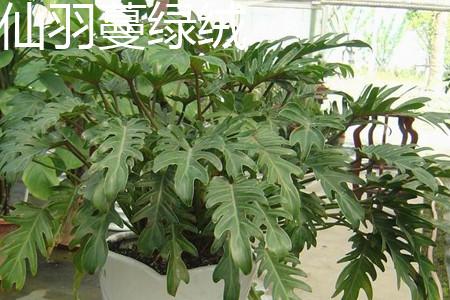 仙羽蔓绿绒