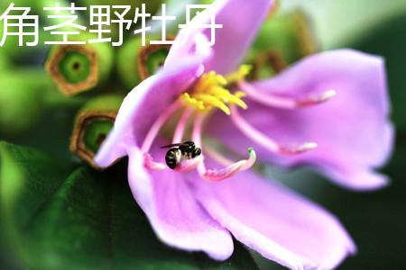 角茎野牡丹