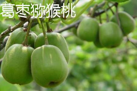 葛枣猕猴桃