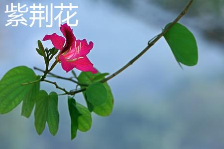 紫荆花叶子.jpg