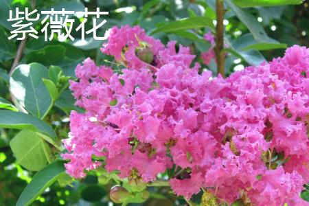 紫薇花叶子.jpg