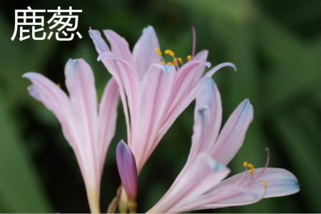 鹿葱花.jpg