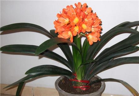 家里养盆君子兰,开花预示好兆头!你的君子兰开花了吗?