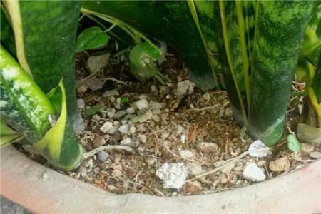 土太板结,芽被闷死的虎皮兰