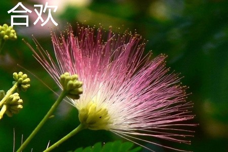 合欢花朵.jpg
