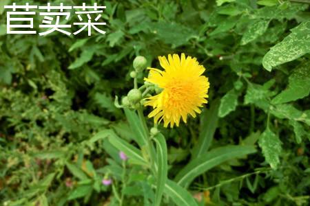 苣荬菜1.jpg