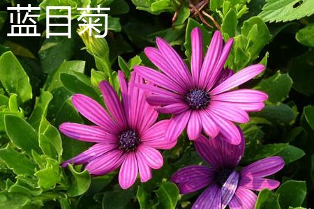 蓝目菊叶子.jpg