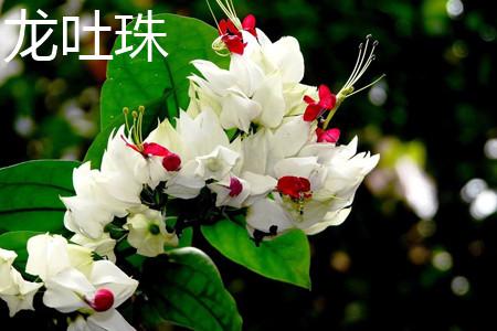 龙吐珠花.jpg
