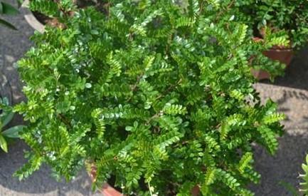 """家里养盆""""清香木"""",1个月不浇水,叶子照样绿油油"""