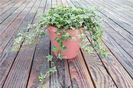 土培常春藤