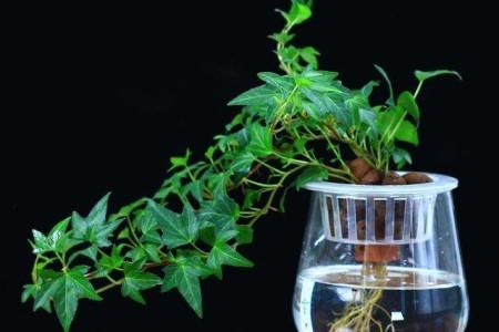 水培常春藤