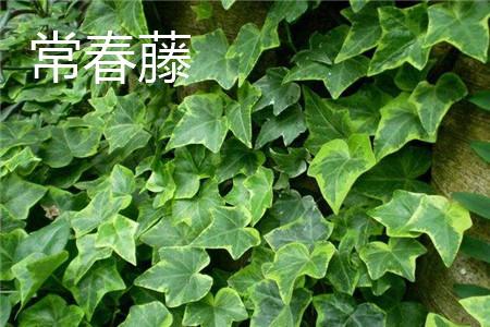 常春藤叶片