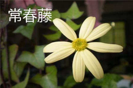 常春藤花朵