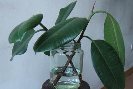 橡皮树泡水生根的方法