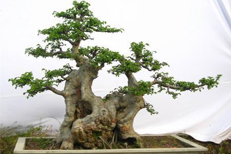 农村什么树能做盆景