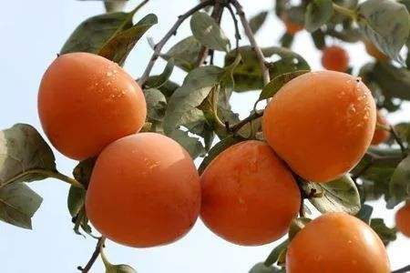 柿子树嫁接时间和方法