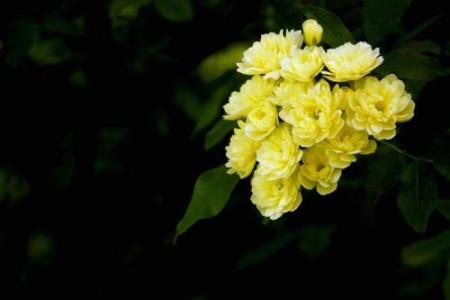 黄色蔷薇花