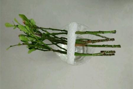 米兰剪枝水培的方法